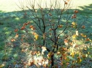 Diosperus caqui